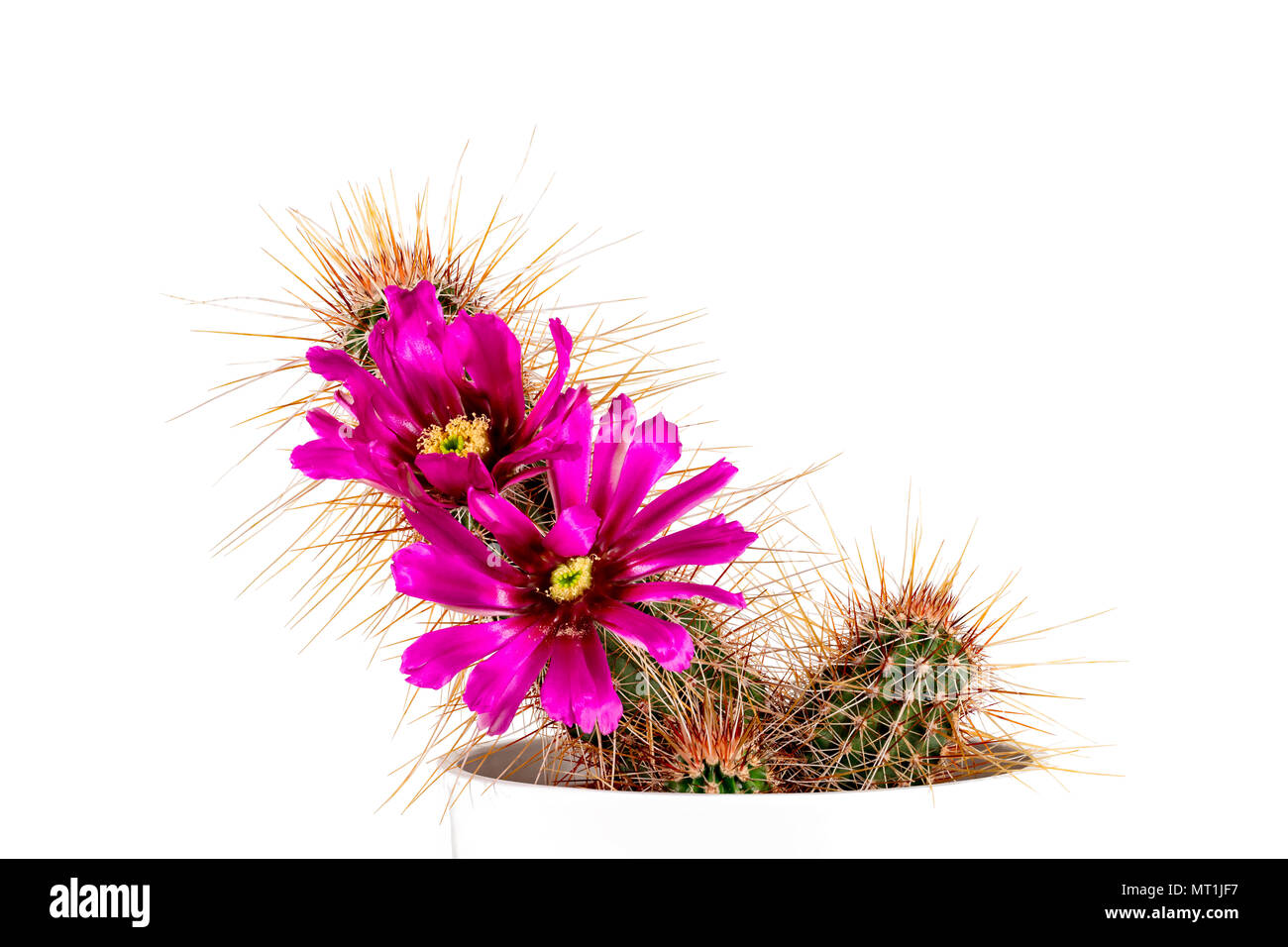 Cactus echinocereus apachensis T0409 apache trail with two blossoms in pink Stock Photo