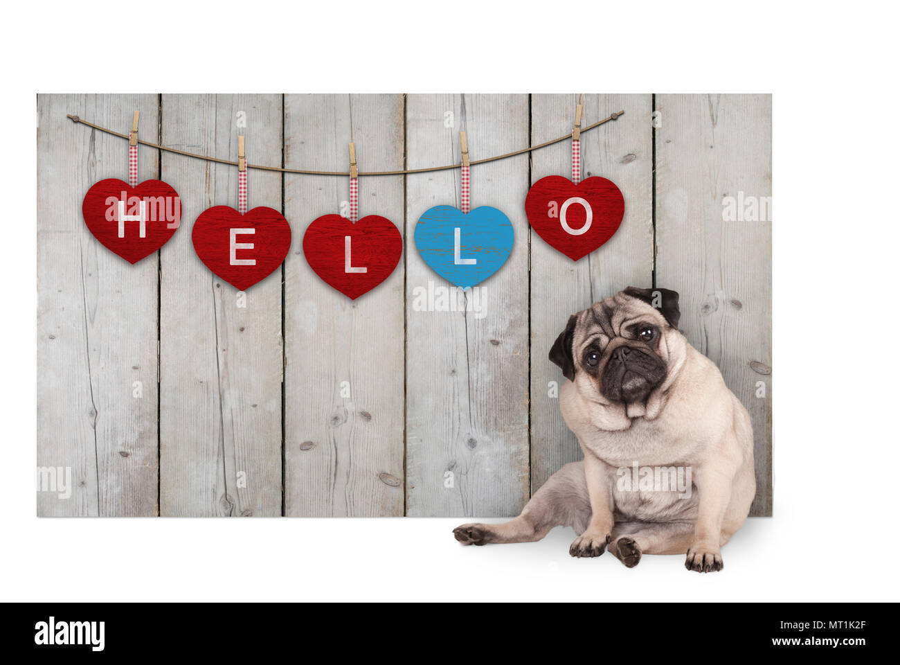 Cute pug puppy dog sitting down next to wooden fence of reclaimed barn wood with red and blue hearts with text hello, isolated on white backgroundStock Photo