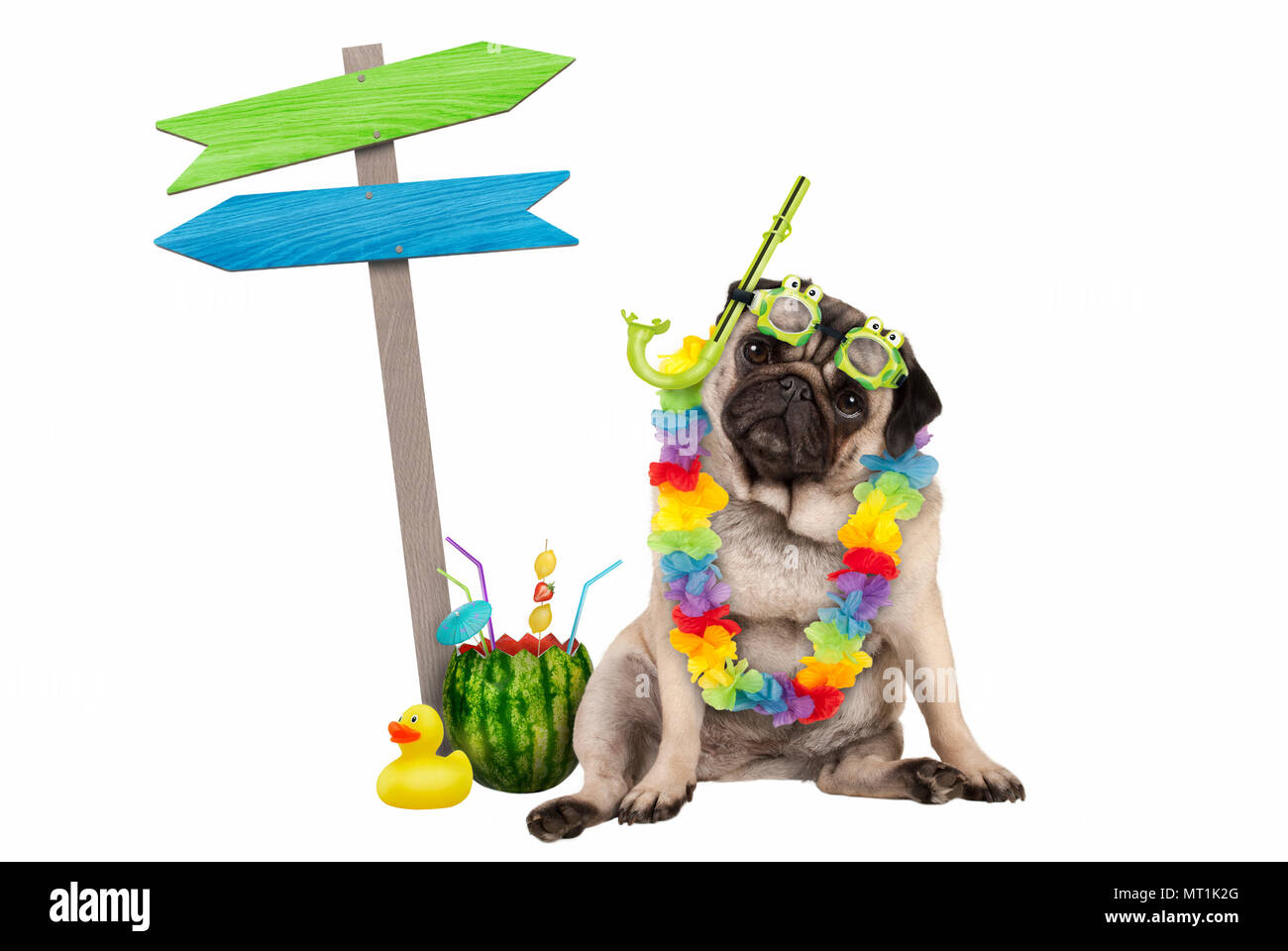 cute smart pug puppy dog sitting down with watermelon cocktail, wearing hawaiian flower garland, goggles and snorkel, next to wooden signpost with arr Stock Photo