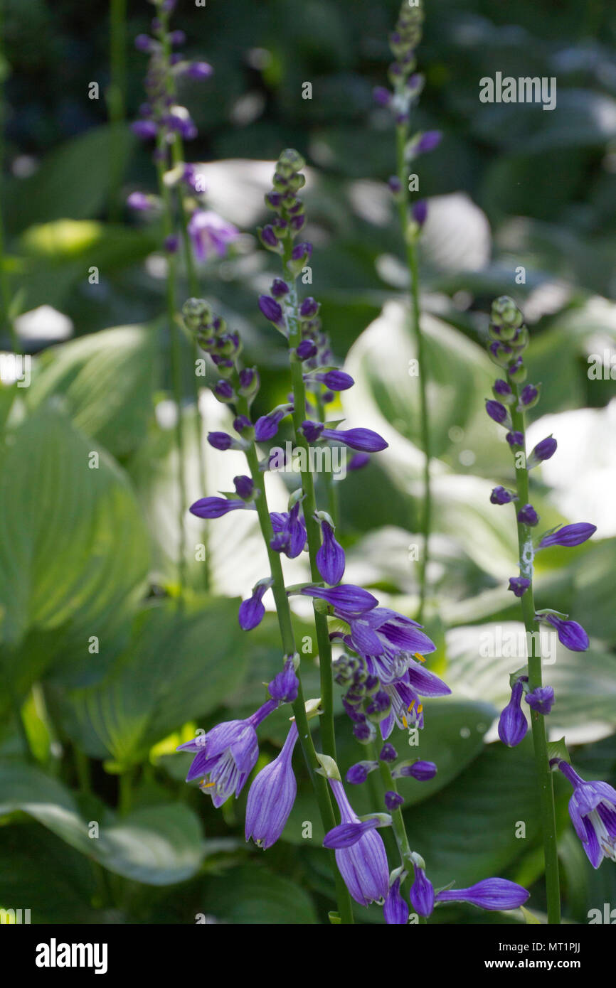 Brightly Colorful Purple Hosta Plant Flowers Line Stalks As They