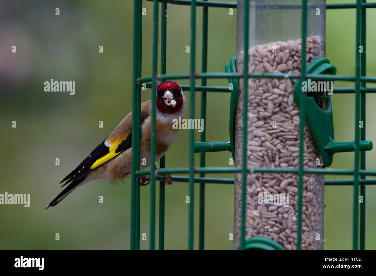 Goldfinch Carduelis carduelis Single adult on squirrel proof seed feeder. British Isles - Stock Image