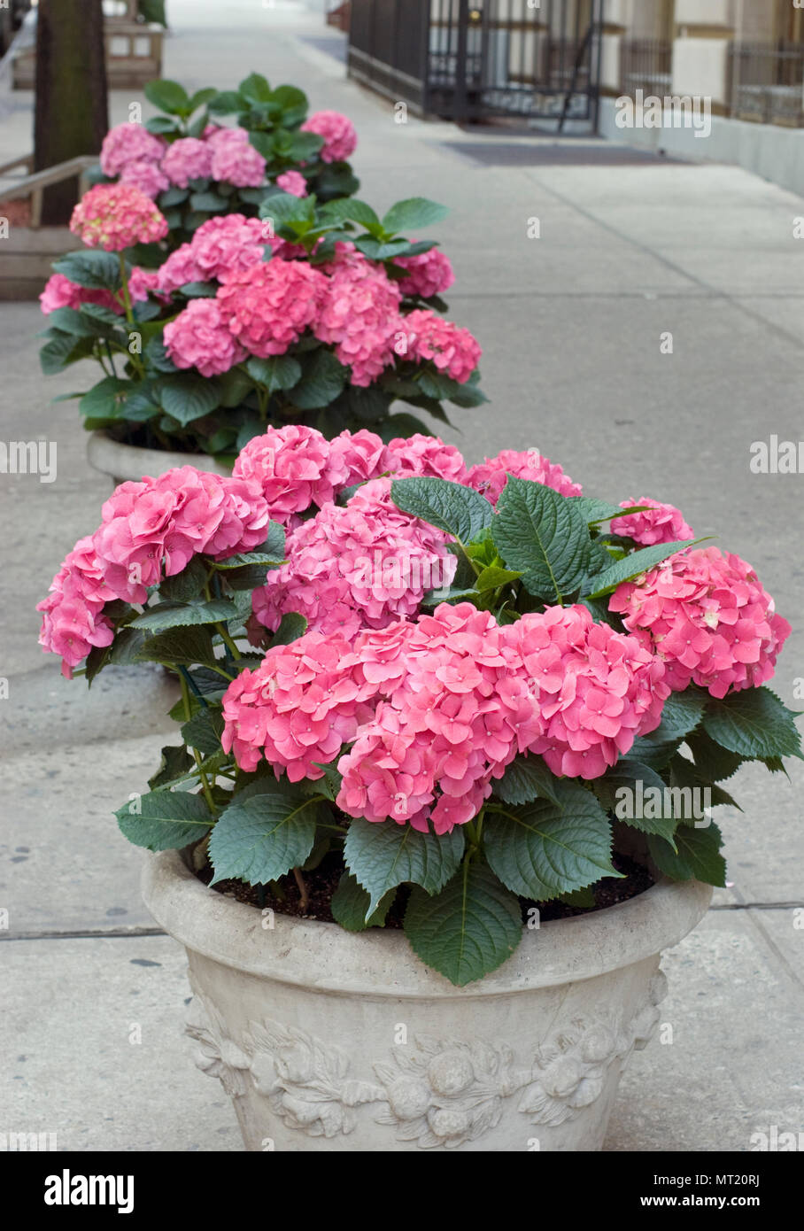 HYDRANGEAS IN SIDEWALK PLANTERS IN NEW YORK CITY - Stock Image