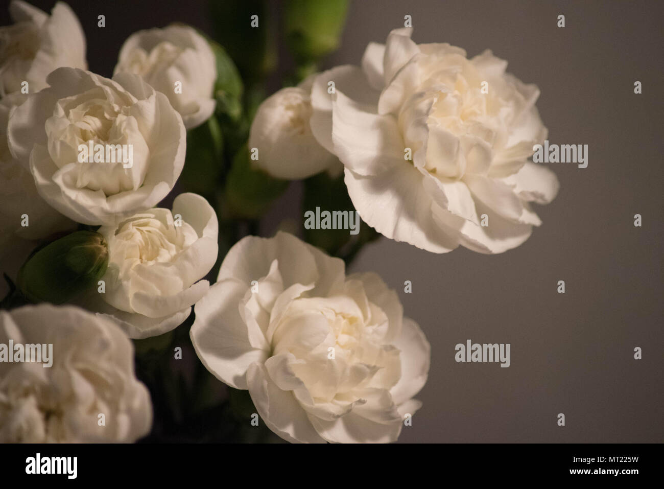 Carnations Flowers Stock Photos Carnations Flowers Stock Images