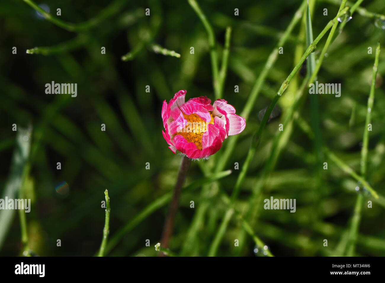 common lawn daisy bud showing pink underside waiting to open very close up Latin bellis perennis compositae in springtime in Italy - Stock Image