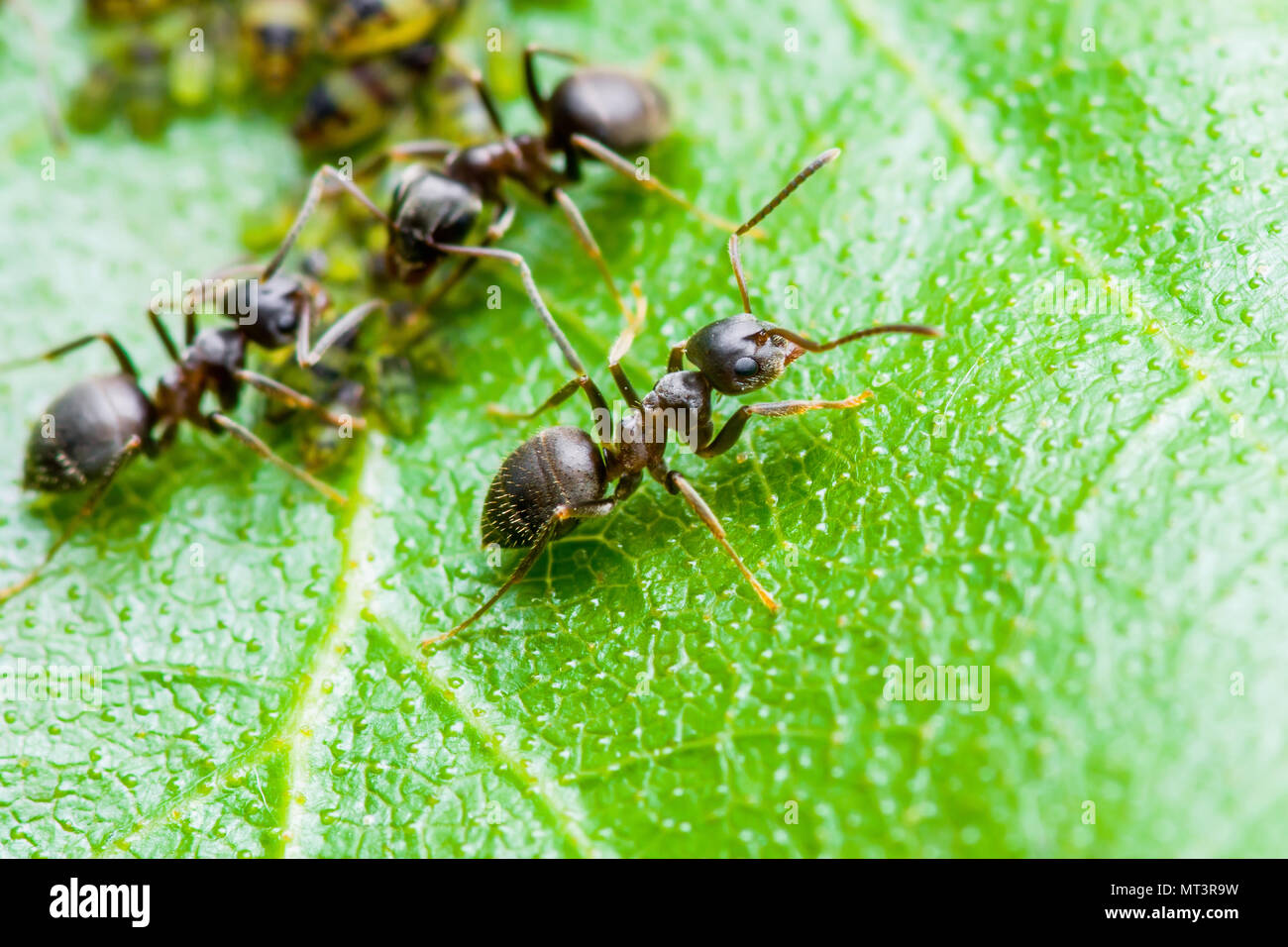 Ant and Aphid Colony on Green Leaf - Stock Image