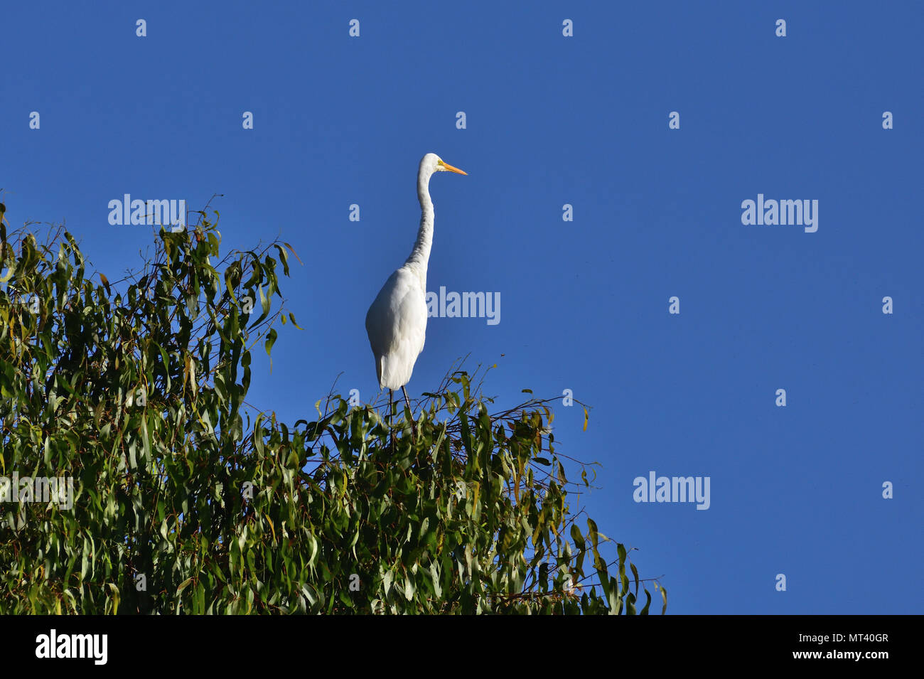 An Australian, Brisbane Queensland nonbreeding Great Egret, Ardea alba resting high up on a Tree - Stock Image