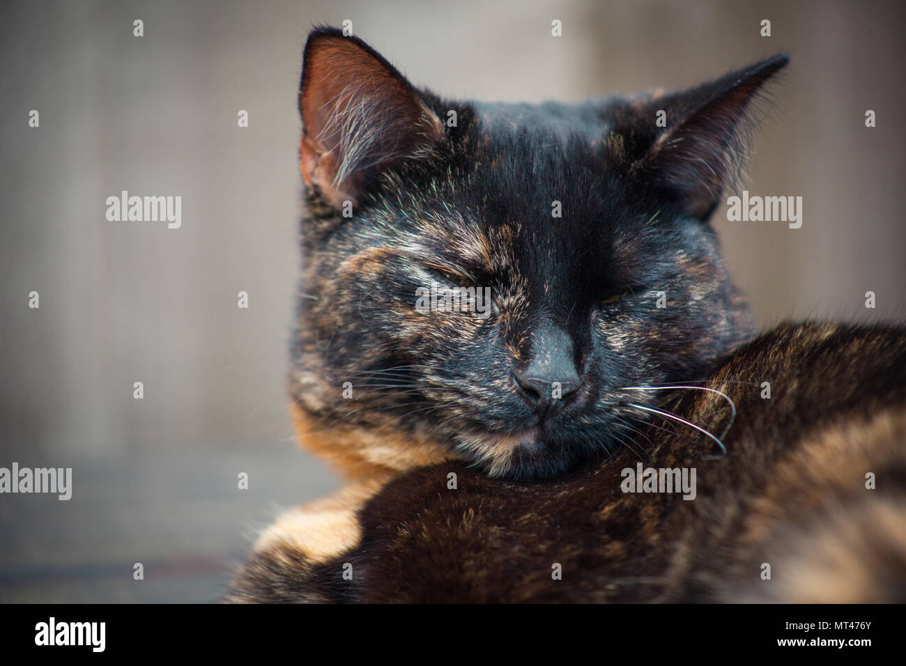 cute tortoiseshell cat enjoying herself outdoors - Stock Image