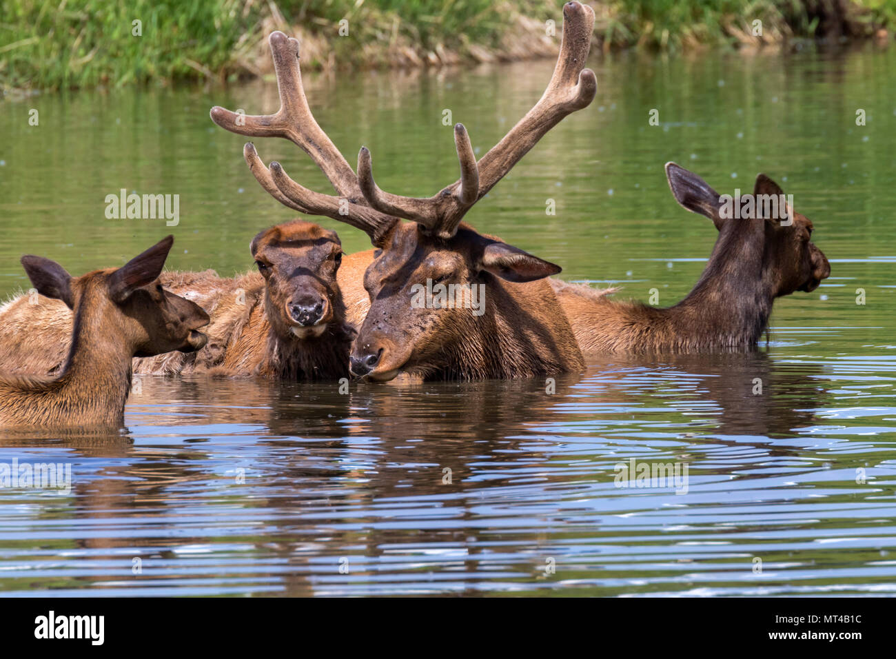 A family group of American elk (Cervus canadensis) bathing in a lake during hot summer day, Iowa, USA. - Stock Image