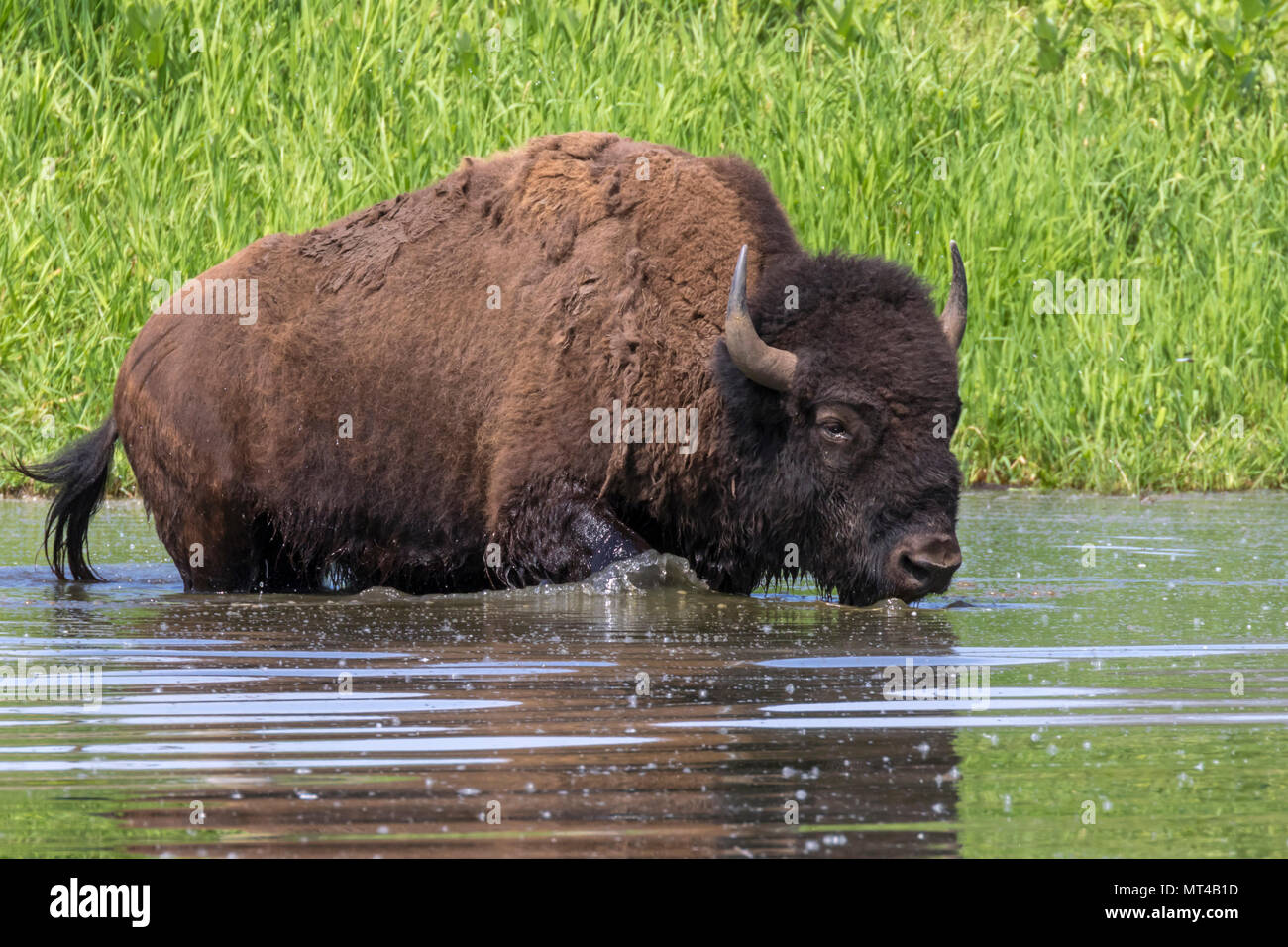American bison (Bison bison) bathing in a lake during hot summer day, Iowa, USA. - Stock Image