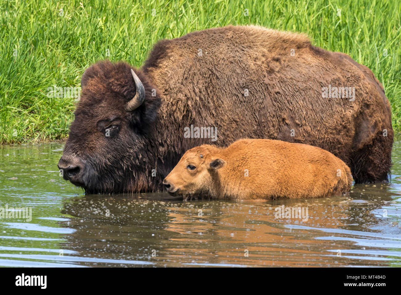 Cow and calf American bison (Bison bison) bathing in a lake during hot summer day, Iowa, USA. - Stock Image