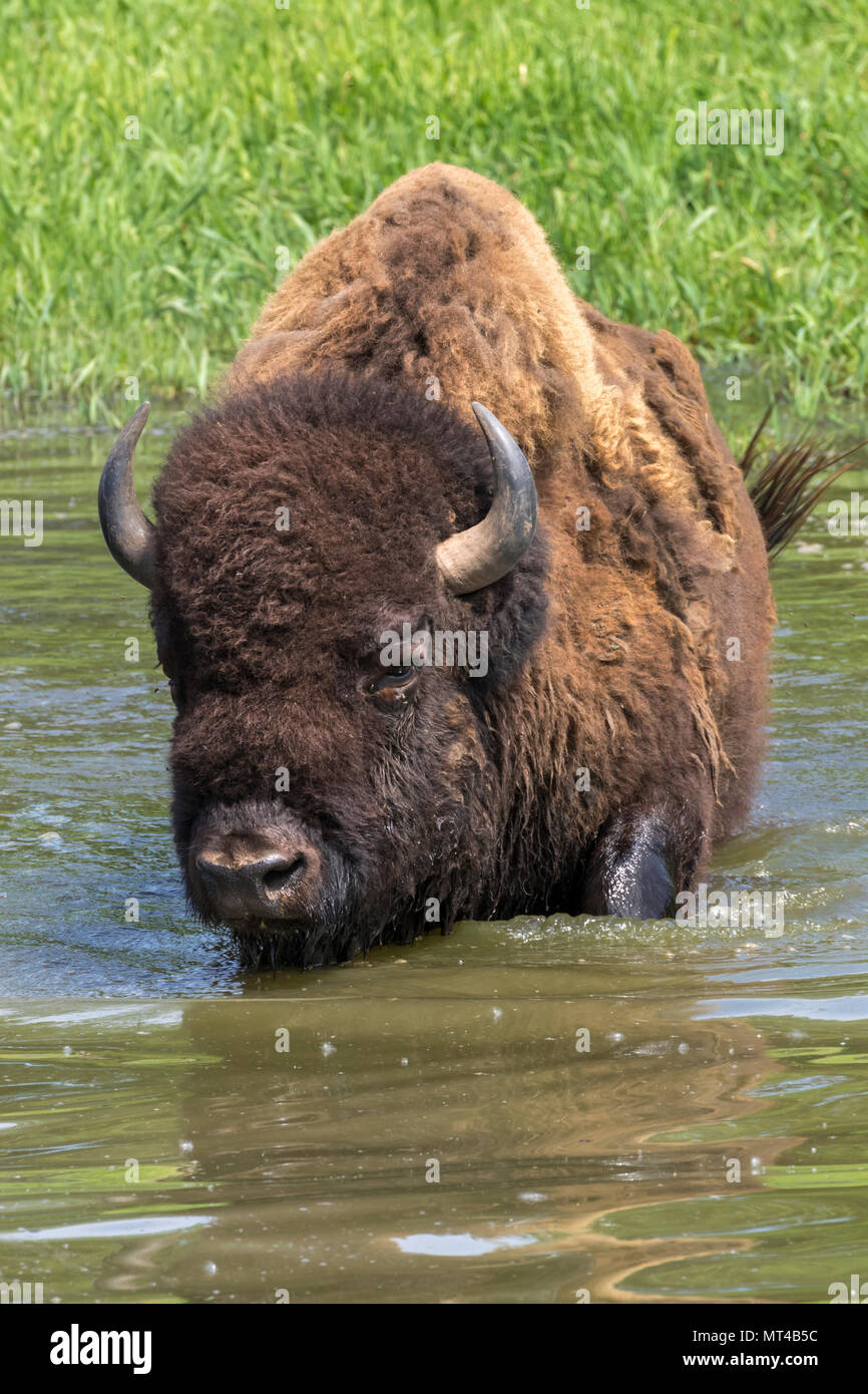 American bison (Bison bison) bathing in a lake during hot summer day, Iowa, USA. Stock Photo