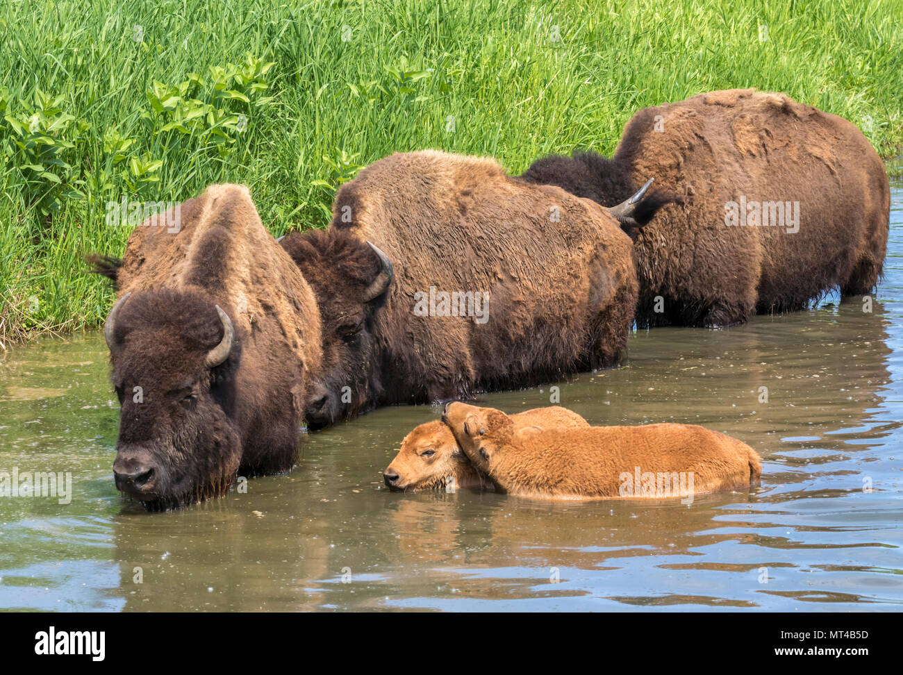 A herd of American bison (Bison bison) bathing in a lake during hot summer day, Iowa, USA. - Stock Image