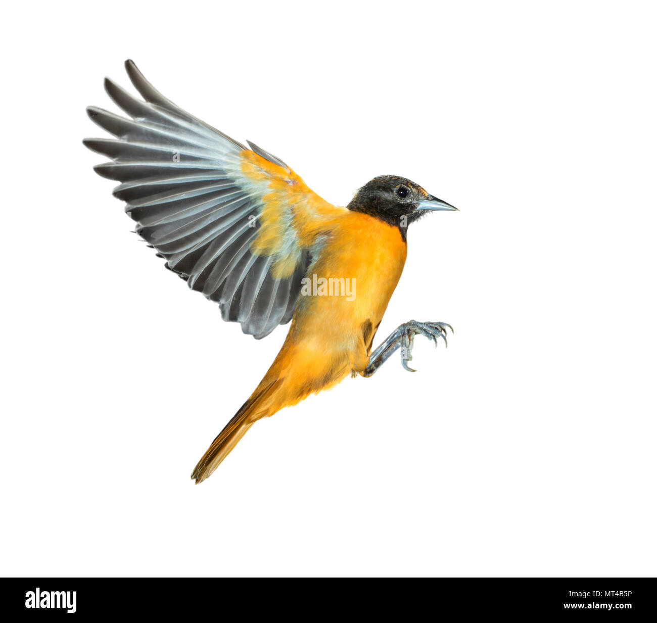 Male Baltimore oriole (Icterus galbula) flying, isolated on white background, clipping path attached. - Stock Image