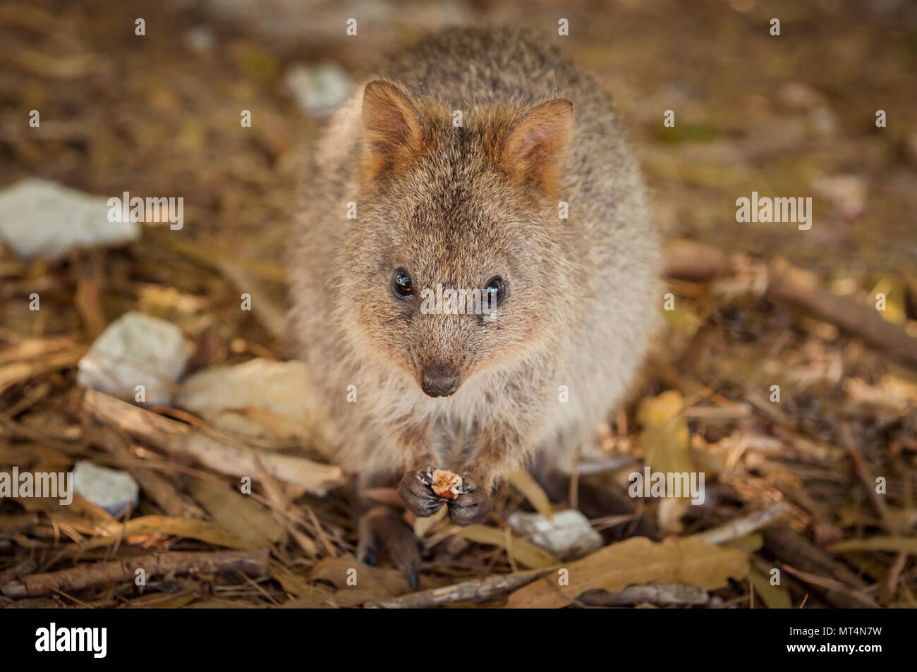 The Quokka is a rare kangaroo species only found on Rottnest Island. - Stock Image