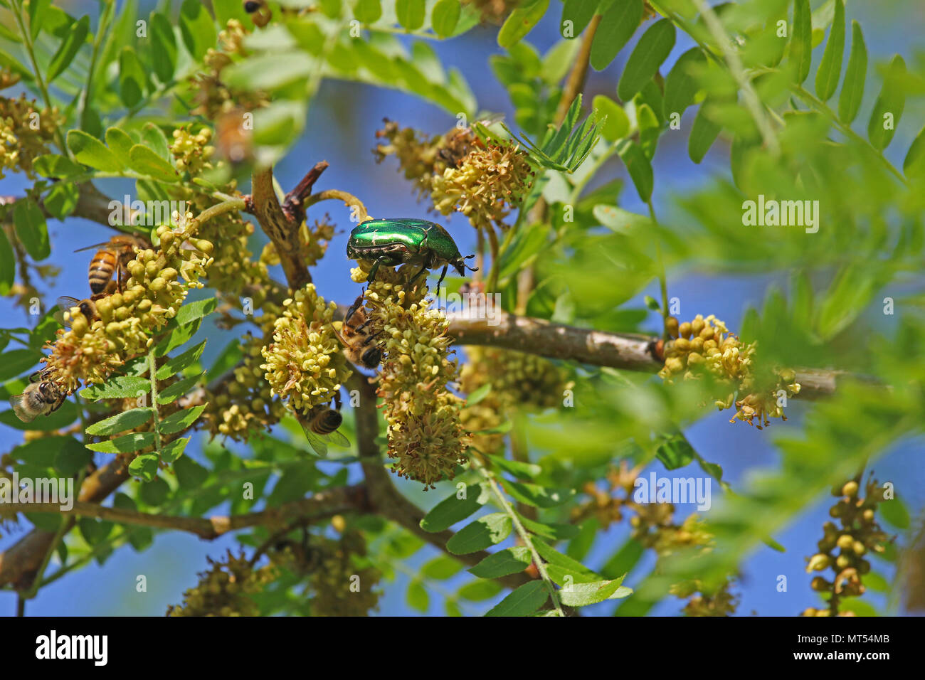 rose chafer beetle Latin cetonia aurata feeding on an acacia tree with honey bees apis mellifera in springtime in Italy - Stock Image
