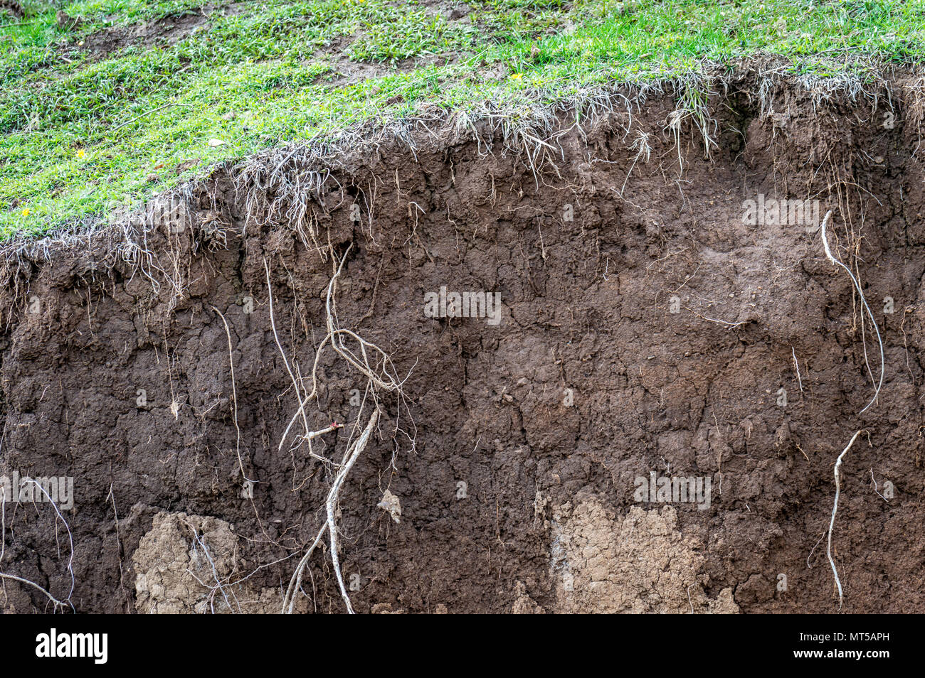 Layers of soil wet soil roots in soil soil profile soil zones grass growing on soil - Stock Image
