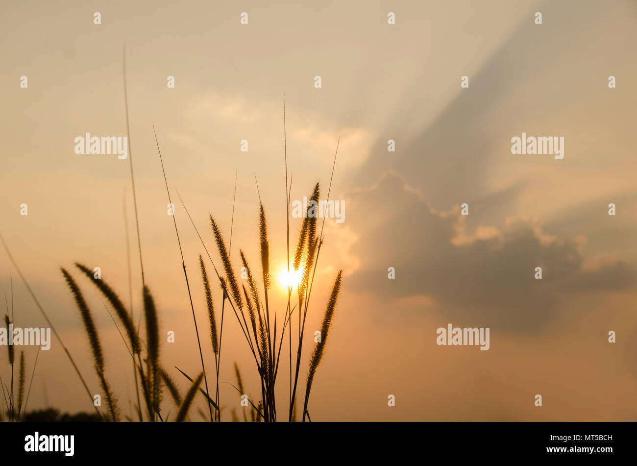 beautiful poaceae ,grasses in the meadow during the sunset. - Stock Image
