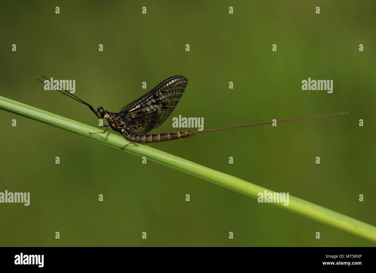 A beautiful Mayfly ( Ephemera vulgata) perching on grass stem. - Stock Image