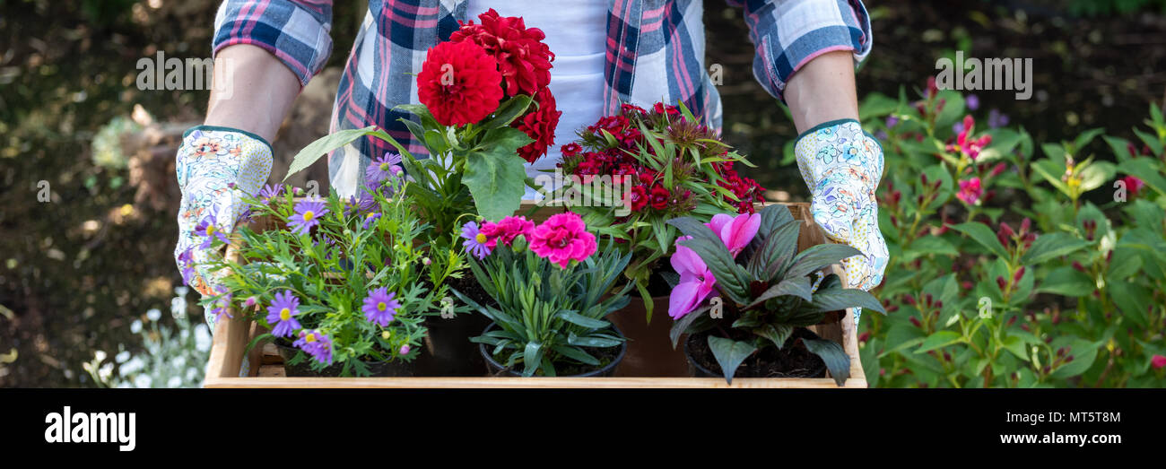Young female gardener holding wooden crate full of flowers ready to be planted in a garden. Gardening hobby concept. Web banner. - Stock Image