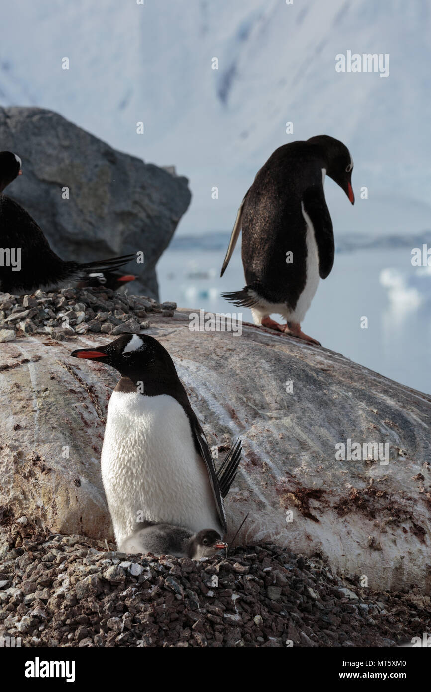 Penguins guard their chicks on nests high on a rocky shore on the Antarctic Peninsula Stock Photo