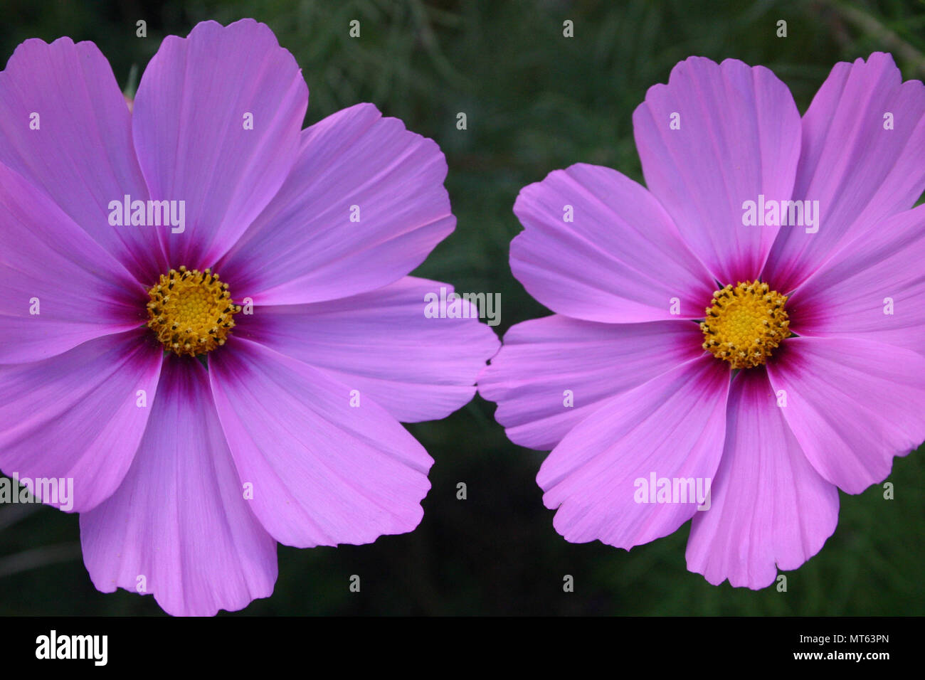 Cosmos Flowers Are Perennial Or Annuals Plants Stock Photo