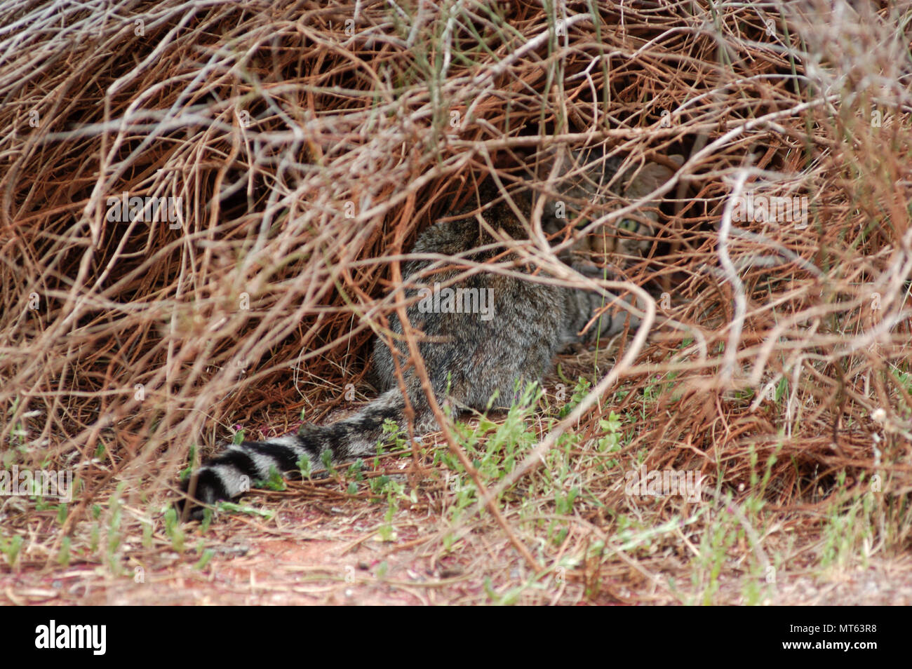 Feral cat hiding in the scrub in outback Western Australia. - Stock Image
