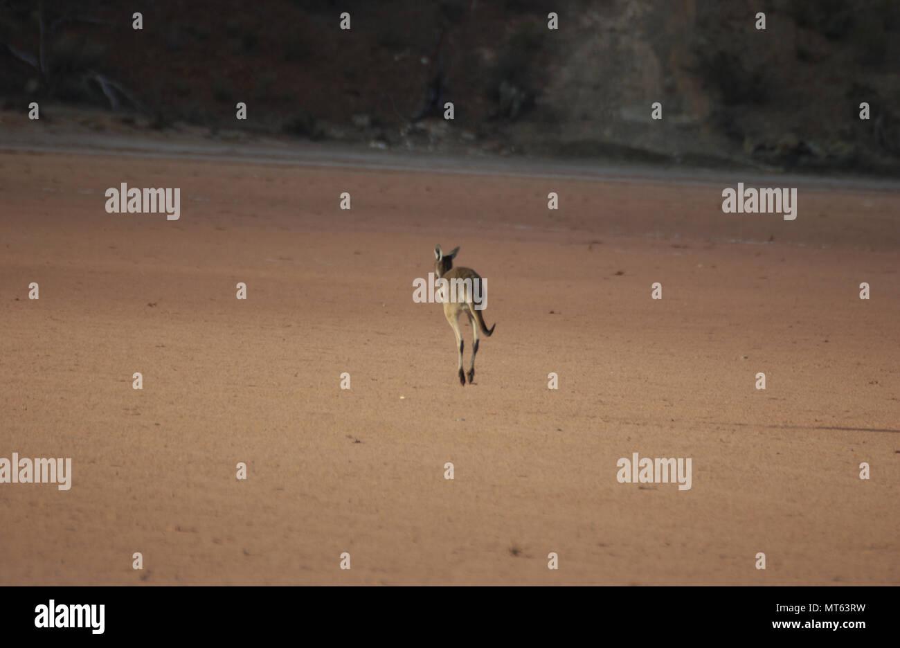 Western Grey kangaroo, Western Australia - Stock Image