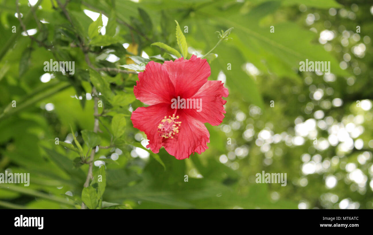 Tropical Beautiful Red Hibiscus Flower With Leaves Closeup Macro Photography Stock Photo Alamy