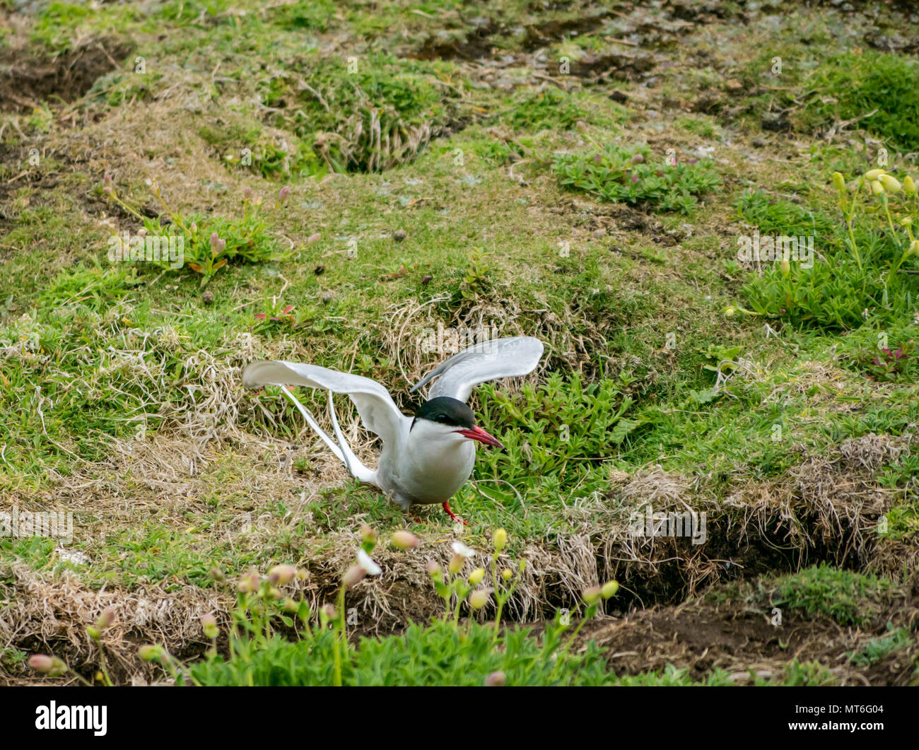 Arctic tern, with wings open, Isle of May seabird nature reserve, Scotland, UK - Stock Image