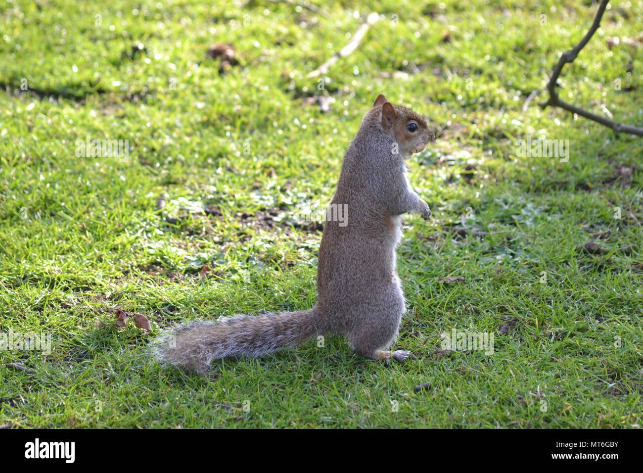 écureuil  Londonien - Stock Image