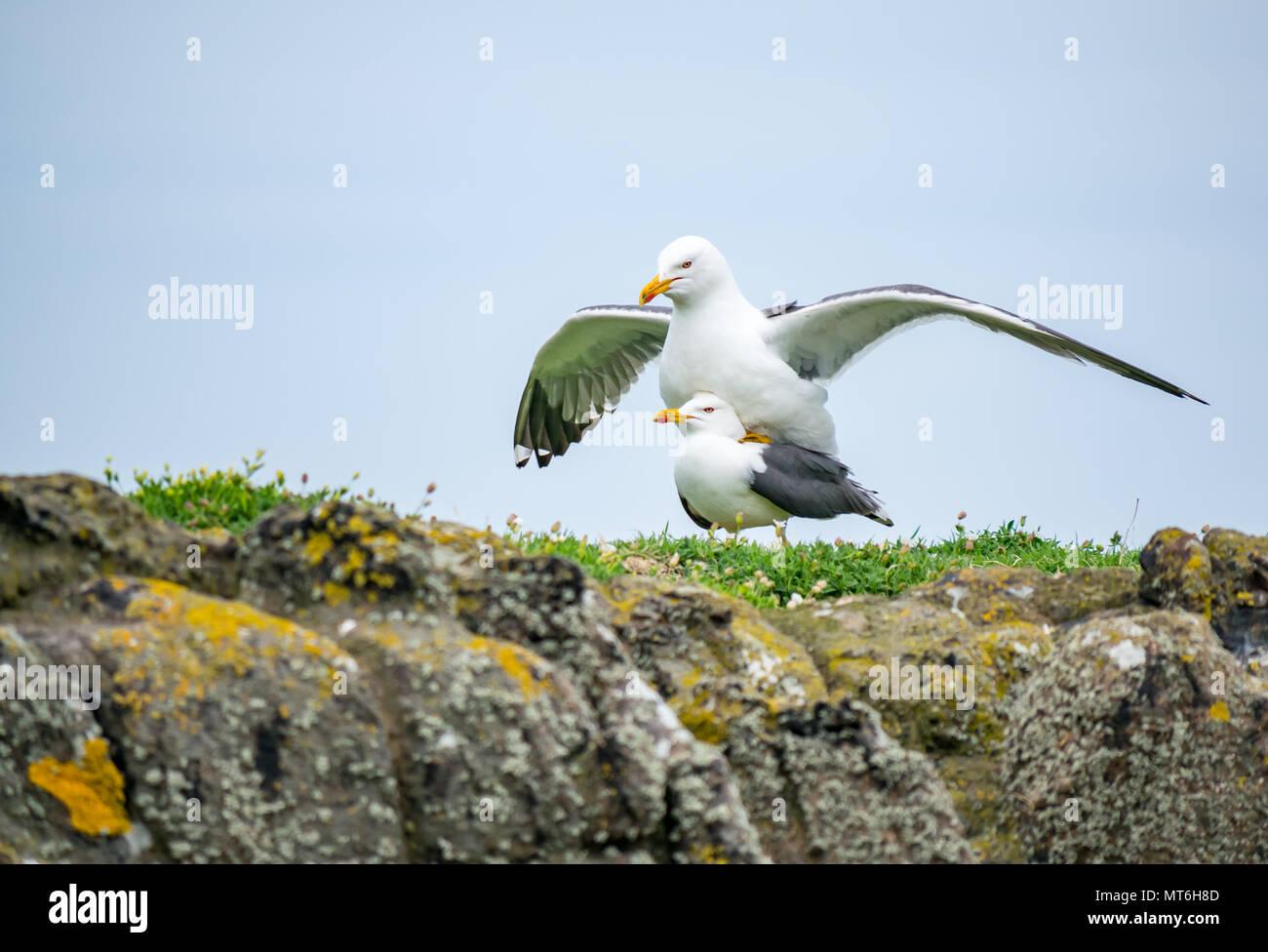 European herring gulls mating, Larus argentatus, Isle of May nature reserve, Scotland, UK - Stock Image