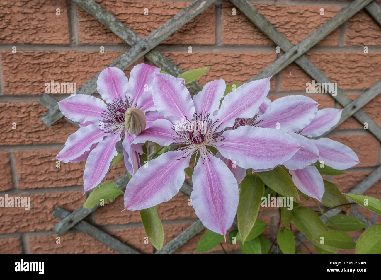 Pale pink Clematis flowers climbing a wall - Stock Image