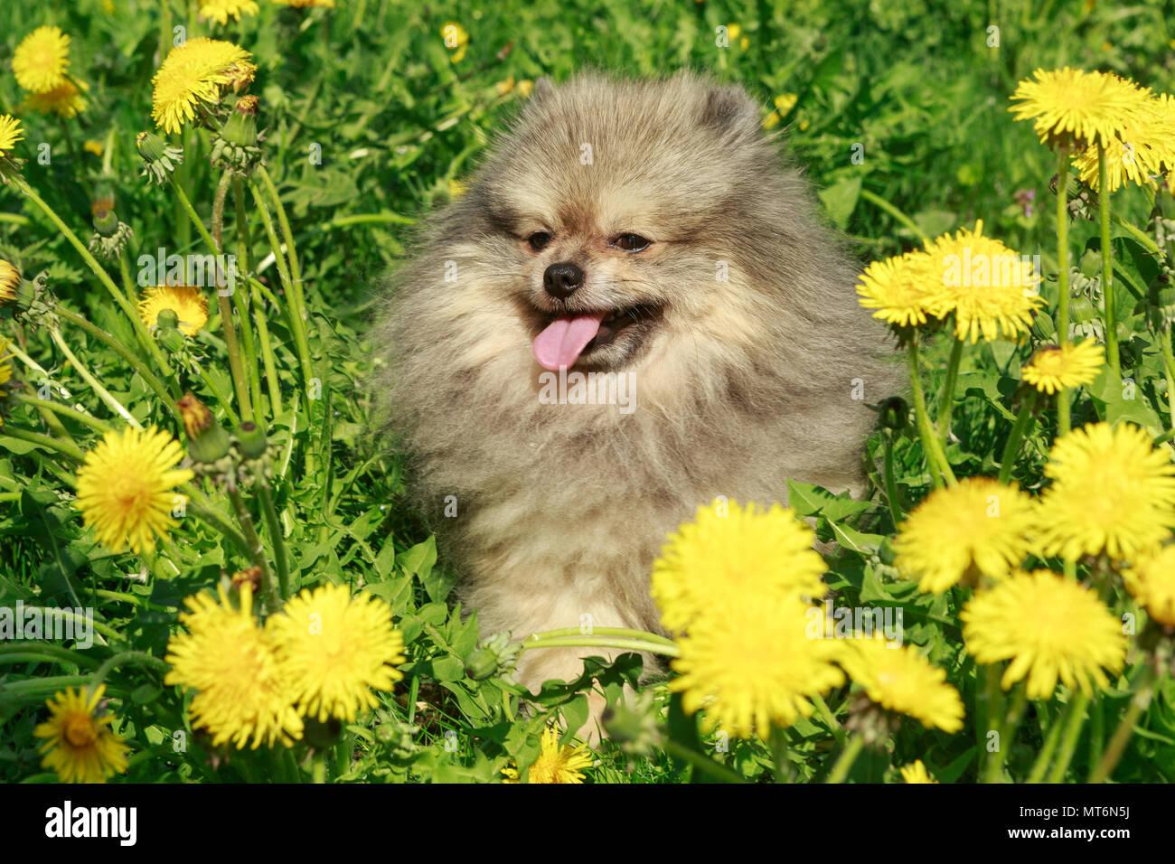 Small Dog Breed Pomeranian Walks In The Garden In Spring Stock Photo