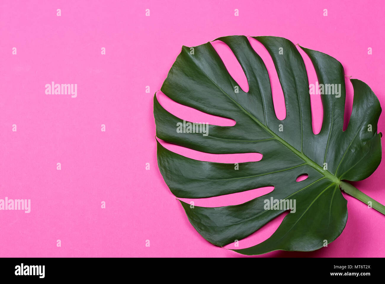 a monstera leaf on the pink background - Stock Image