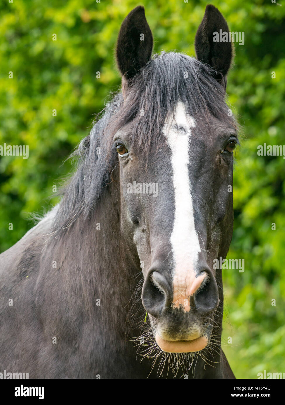 Close Up Of Watchful Black Horse Head With White Blaze Against Blurred Green Foliage Background Stock Photo Alamy