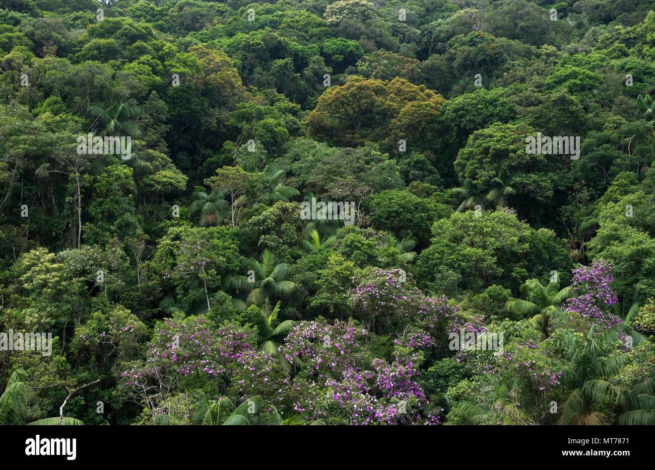 Atlantic Rainforest in São Paulo State, Brazil - Stock Image