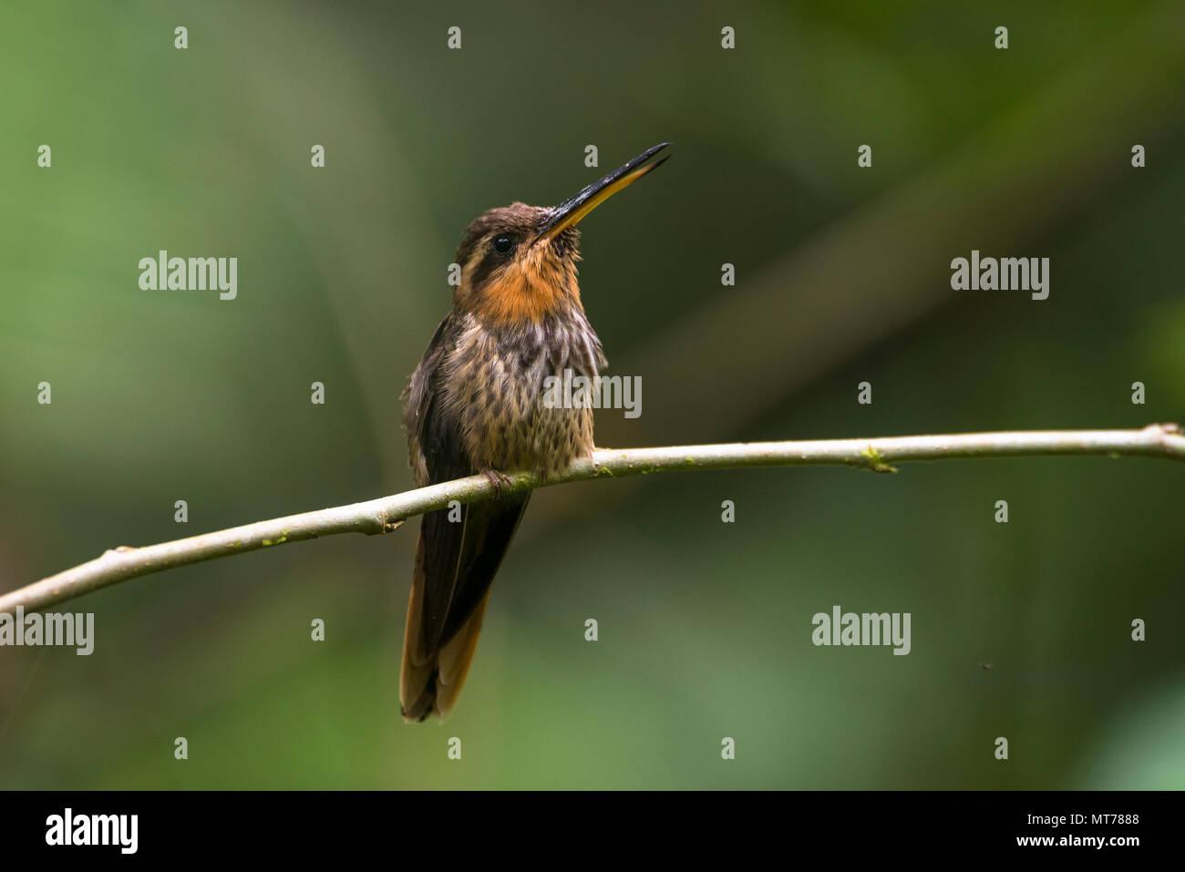 Saw-billed Hermit (Ramphodon naevius) from the Atlantic Rainforest - Stock Image
