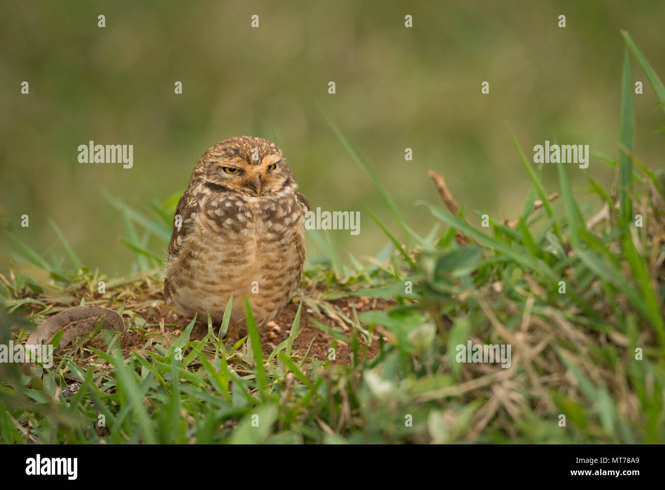 Burrowing Owl (Athene cunicularia) from SE Brazil - Stock Image