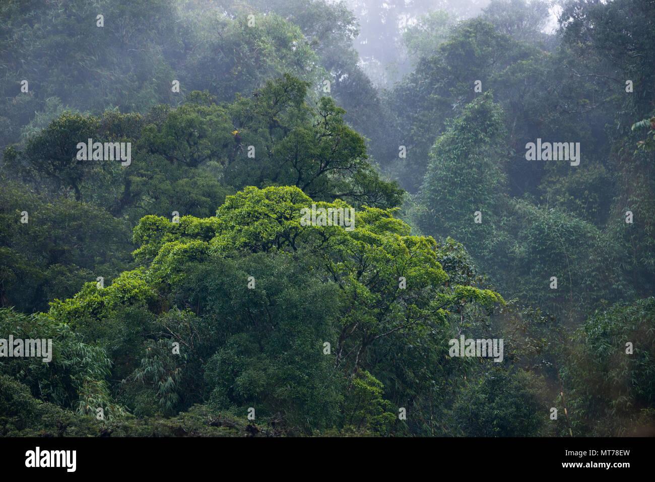 Primary Atlantic Rainforest from São Paulo State, SE Brazil - Stock Image