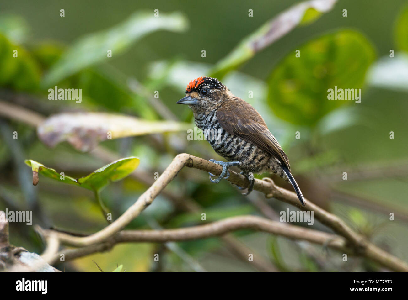 A male White-barred Piculet (Picumnus cirratus) from SE Brazil - Stock Image