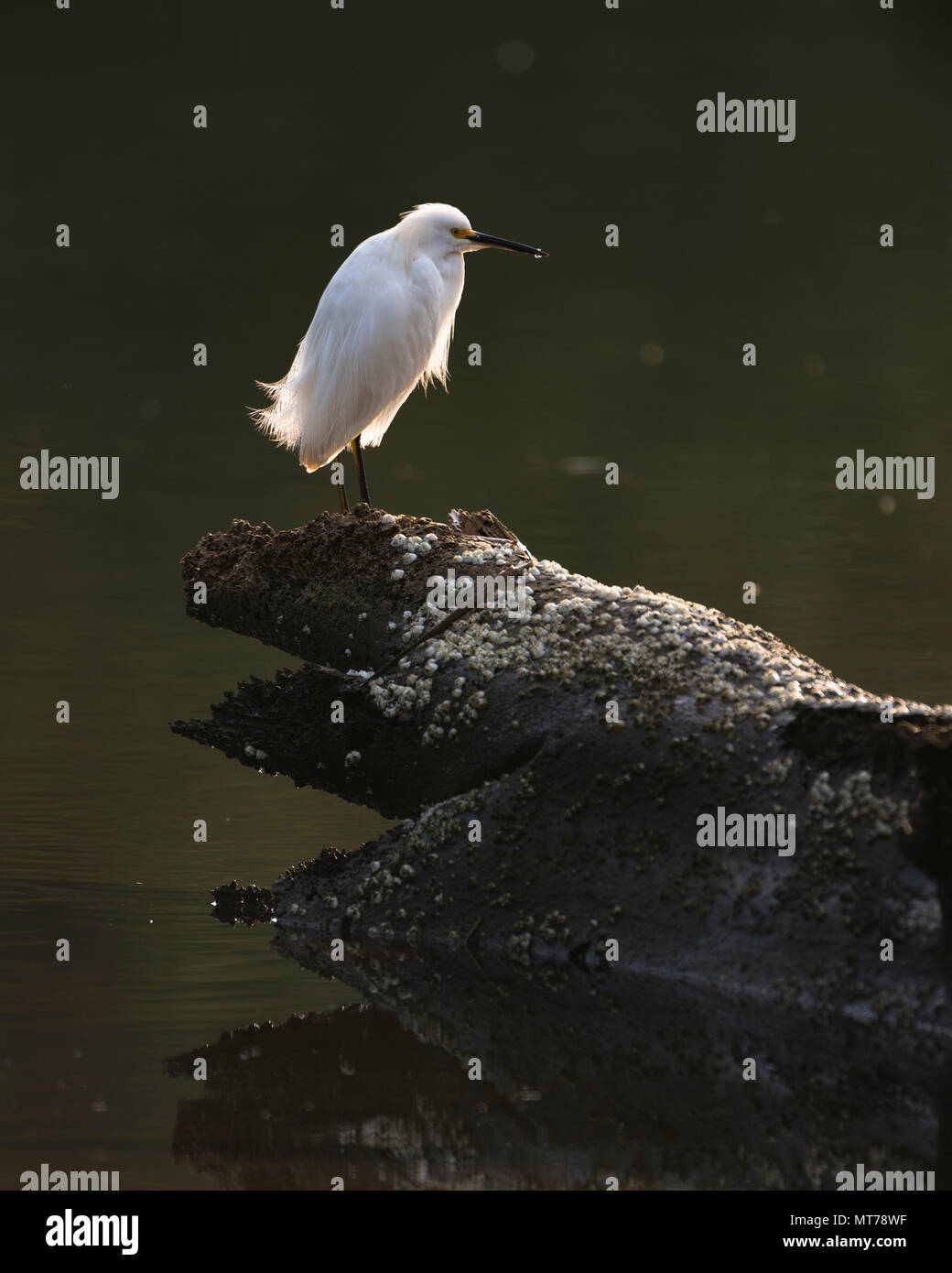 Snowy Egret (Egretta thula) from SE Brazil - Stock Image