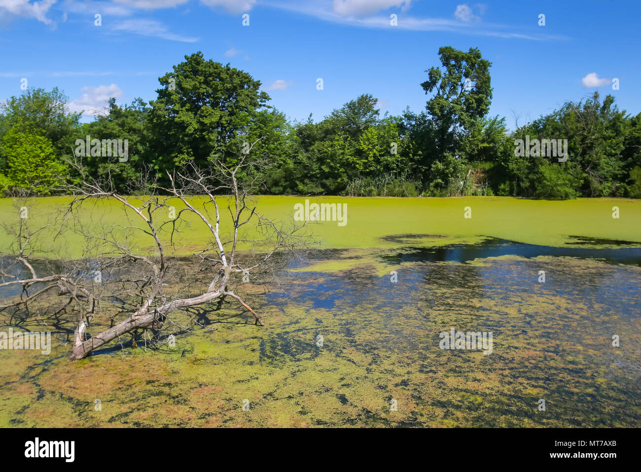 A view of a bare branchy tree in the green river Bosut covered with algal blooms in Vinkovci, Croatia. - Stock Image