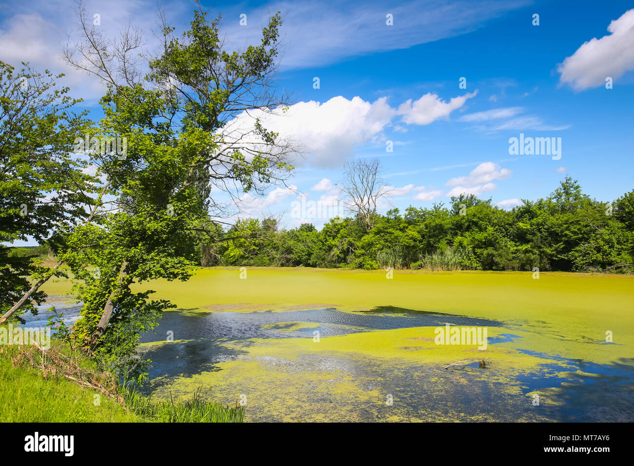 A view of the green river Bosut covered with algal blooms in Vinkovci, Croatia. - Stock Image