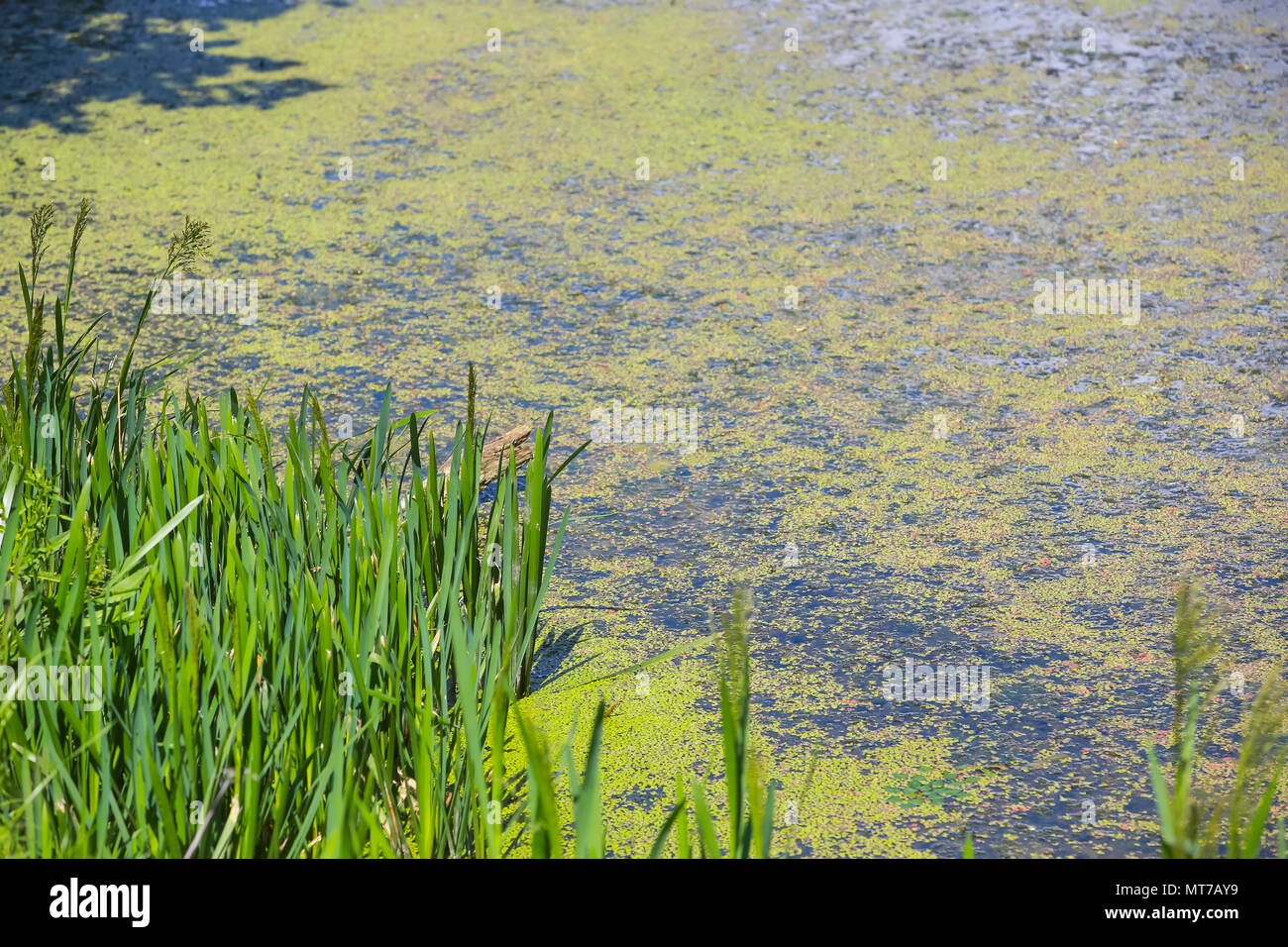 Nature detail of the grass with green river Bosut covered with algal blooms in Vinkovci, Croatia. - Stock Image