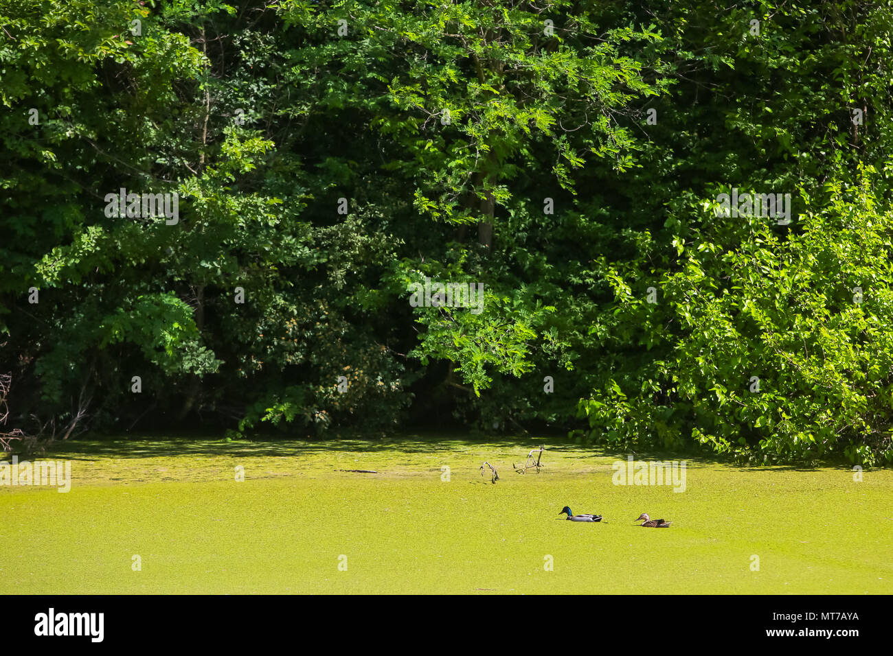 A view of two ducks swimming in the green river Bosut covered with algal blooms in Vinkovci, Croatia. - Stock Image