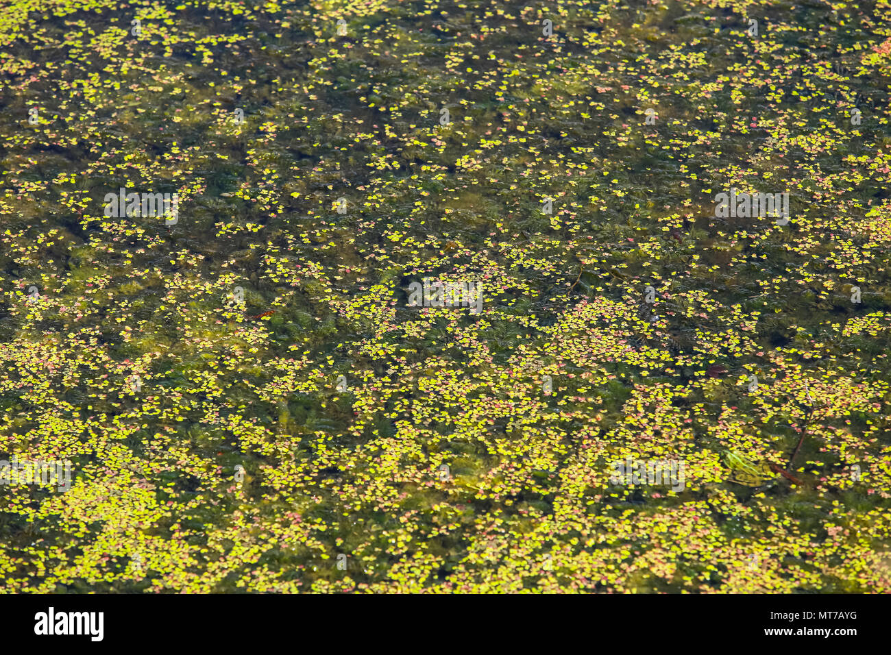 Close up of Bosut river surface covered with algal blooms in Vinkovci, Croatia. - Stock Image