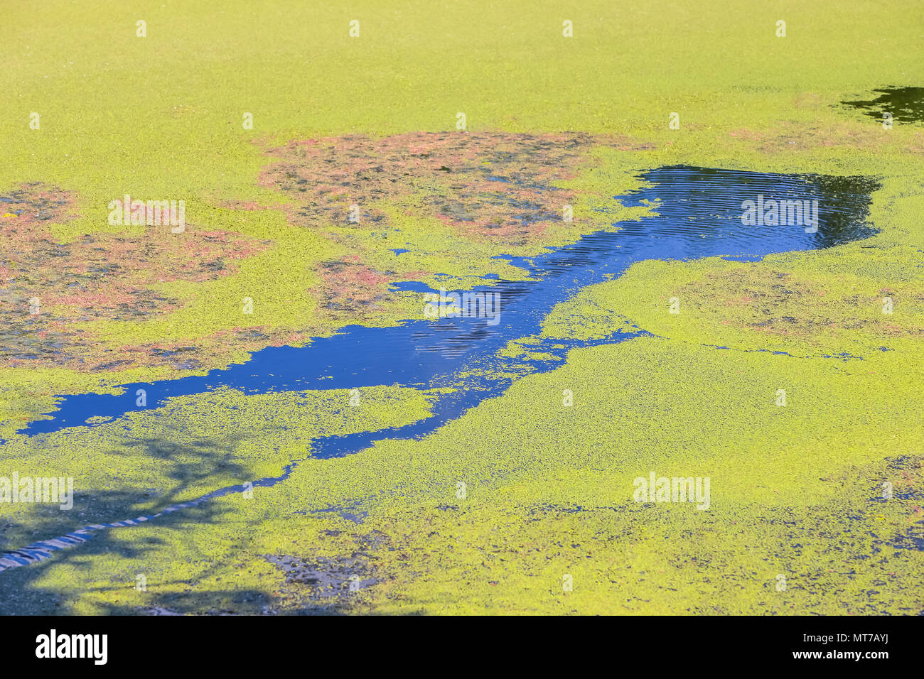 Nature detail of the green river Bosut covered with algal blooms in Vinkovci, Croatia. - Stock Image