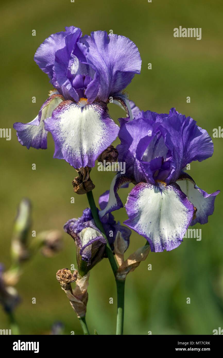 Bearded Iris Flower Plant Stock Photos Bearded Iris Flower Plant