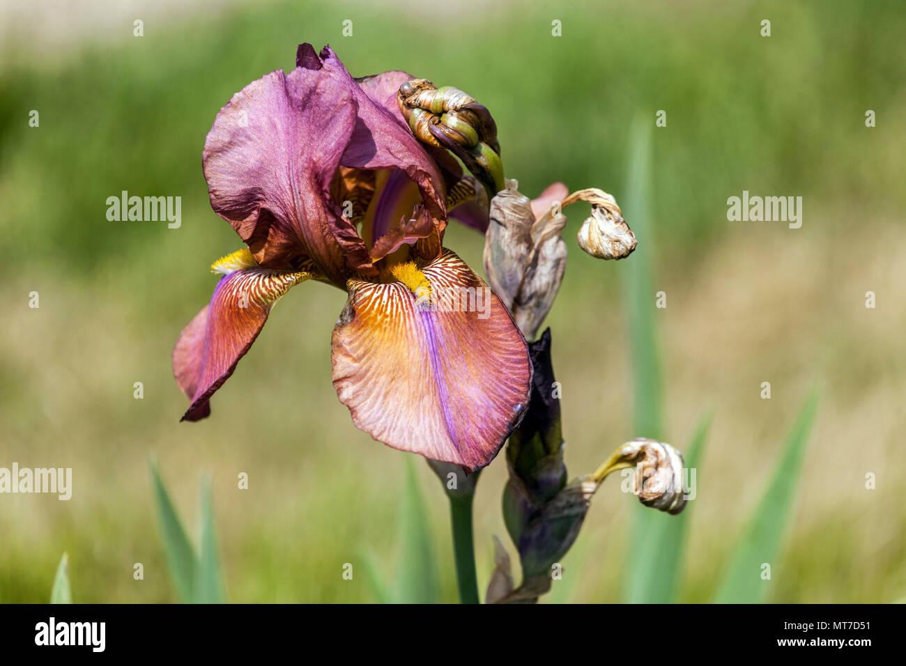 Tall bearded Iris ' Sultans Robe ', bearded irises - Stock Image