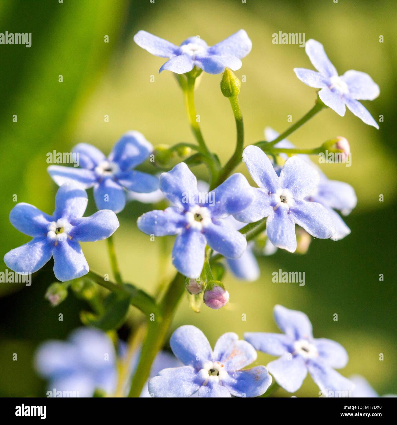 Gentle blue flowers forget-me-not (Myosotis sylvatica) on green natural background - Stock Image